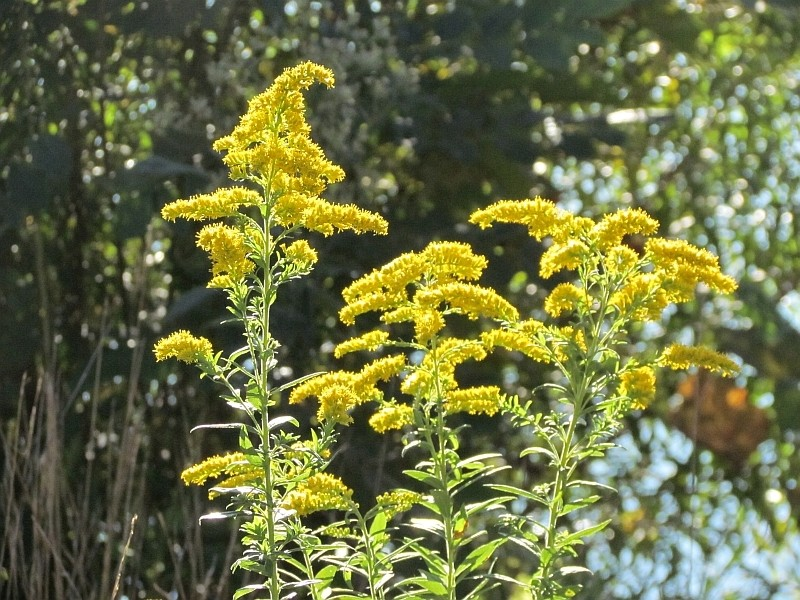 image of yellow flowers with green plants in the background
